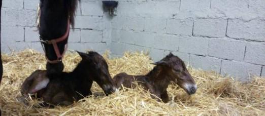 parto-gemellare cavalli horse-power